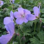 Geranium himalayense 'Irish Blue'