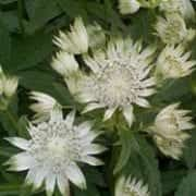 Astrantia major 'Alba'