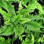 Hardy Ferns (UK)