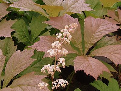 Rodgersia 'Irish Bronze'