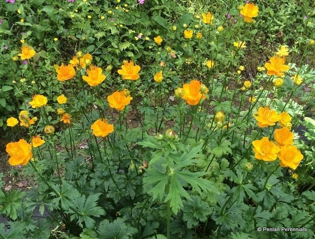 trollius-chinensis-morning-sun