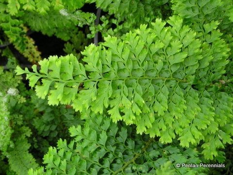 polystichum-setiferum-plumosomultilobum-group