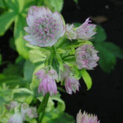 Astrantia major 'Sunningdale Variegated'