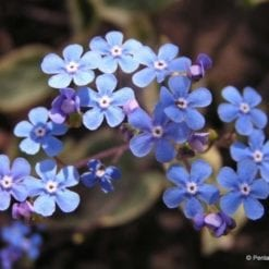 Brunnera macrophylla flower