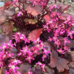 saxifraga-black-ruby