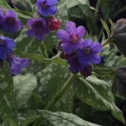 pulmonaria-trevi-fountain