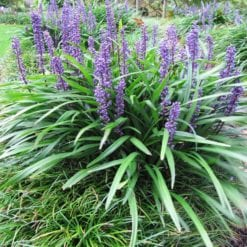 liriope-muscari-big-blue