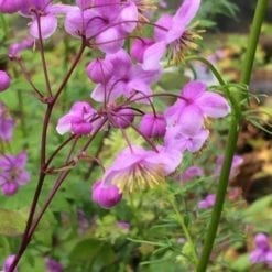 thalictrum-splendide